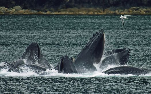 1024px-whales_bubble_net_feeding-edit1